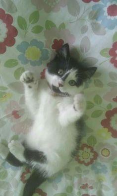 Stanley-cat