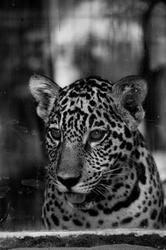 white and black tiger painting photo – Free Animal Image on Unsplash Tiger Painting, Black Tigers, Animals Images, Tobias, Hd Photos, Mammals, Panther, Wildlife, Free