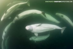 There were so many belugas in the water this year! With bigfishexpeditions.com