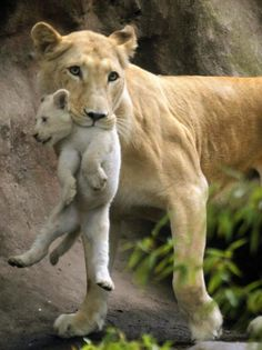 What a stunning lioness. And white cub