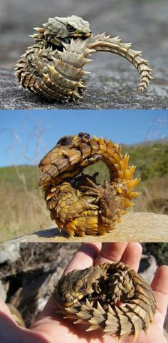 Armadillo lizards are pretty cute, in their own way