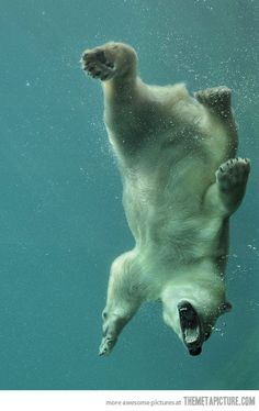 OWN one of these... Polar bear .. But also have a huge underwater aquarium !! Since there my FAV animals!  #BUCKETLIST