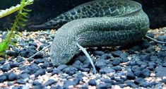 African lungfishes are eel or salamander-like fishes belonging to the genus 'Protopterus'. 'Protopterus' is the only genus belonging to the family of Freshwater Aquarium, Aquarium Fish, Information About Fish, Photos Of Fish, Monster Fishing, Fact Of The Day, Life Aquatic, Tori Black, Underwater World