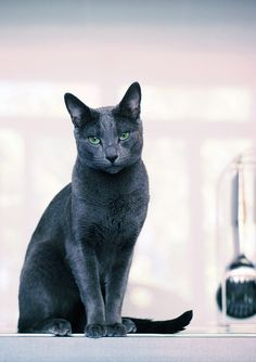 Russian Blue.  My baby Fila is half Russian Blue half Siamese. Gorgeous Kittie !