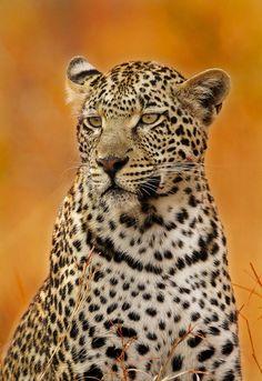 Leopard in Autumn by Rudi Hulshof on 500px
