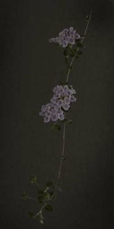 """Flowers In Neutral Moment-2 """"Luntana montevidensis"""" Archival pigment print Photo by Soichi Oshika"""
