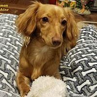 San Antonio Tx Dachshund Meet Samantha Lynn A Pet For Adoption Dachshund Rescue Pet Adoption Dog Adoption