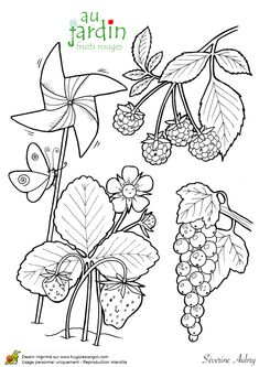 Coloriage Jardinage Fruits Rouges - Hugolescargot.com Colouring Pages, Coloring Sheets, Adult Coloring, Coloring Books, Garden Workshops, Garden Projects, Secret Garden Colouring, Summer Activities For Kids, Plantar