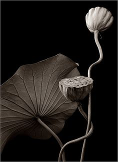 graceful picture of lotus pods (leaf doesn't have enough texture) ~ Black & White flower lotus Black And White Flowers, Black White Photos, Black And White Photography, White Lotus, Straight Photography, Fine Art Photography, Nature Photography, Lotus Pods, Lotus Flower Pod