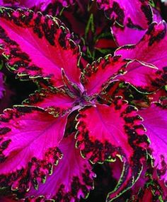 Hot-pink leaves with ruffled, variegated borders edged with a thin line of light green make Solenostemon 'Pink Chaos' look like an explosion of neon paisley. #shadegardens #garden