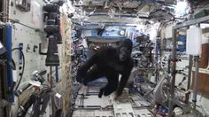 A gorilla escaped from its container on the International Space Station and chased European astronaut Tim Peake around the orbiting laboratory on Tuesday.