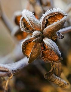 Pernilla Bergdahl: Peony- seedhead with frost