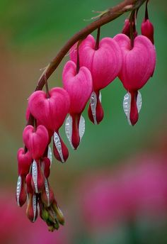 Bleeding heart, Dicentra formosa. I have these in my front garden.  I didn't know they were bulbs/perennials that come back every year! SO Pretty