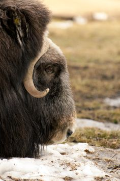 Musk Ox Amur Leopard, Snow Leopard, Arctic Animals, Animals And Pets, Musk Ox, Canadian Wildlife, Animal Magnetism, Mundo Animal, Interesting Faces