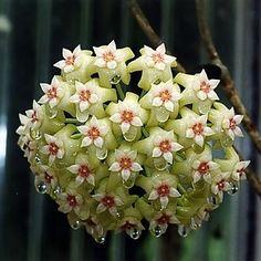 Hoya Planta. Hay alrededor de doscientas especies de Hoya, pero ellas son plantas típicamente tropicales que necesitan  calor y la humedad. Las flores increíbles, simétricas pueden ser impresionantes.