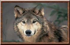 Loup des plaines  (Canis lupus nubilus)