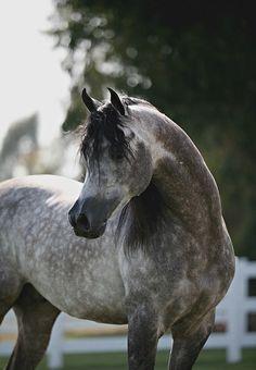 Moon of Jullyen V; 2003 grey Arabian stallion (Jullyen El Jamaal x Misti V)