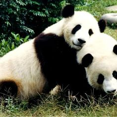 Do you know where do pandas live? The panda (Ailuropoda melanoleuca) is also recognized as the Giant Panda and is endemic to North America and southern China. Panda Meme, Panda Hug, Happy Panda, Cute Panda, Panda Bears, Animals Of The World, Animals And Pets, Baby Animals, Cute Animals