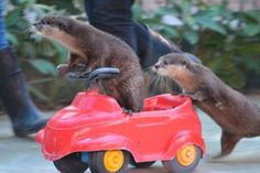 fischotterchen:  Ottermobile :3The only ride I will accept from now on.