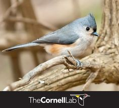 Tufted Titmice are welcome at every feeder. Like chickadees, they seldom eat a seed in the feeder, but rather carry it off to a perch where they can feed away from others. Learn more here: http://info.allaboutbirds.org/evergreen_birdnotes-winter-bird-feeding