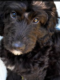 SpringerDoodle!!!! Ahhhh they're just so cute!!!!! This is my dog. my future dog.