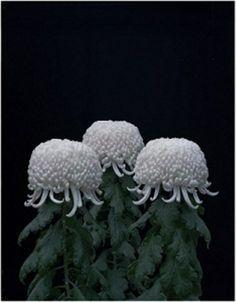 米田知子「菊」2011