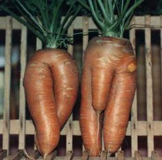 Deformed Vegetables, Fruit Reportedly Pop Up Around Japan Nuclear . Growing carrots is such fun! Weird Fruit, Funny Fruit, Strange Fruit, Funny Food, Weird Food, Funny Vegetables, Fruits And Vegetables, Growing Carrots From Seed, Weird Shapes