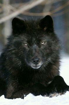 .Beautiful black wolf