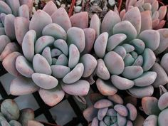 GRAPTOVERIA OPALINA IS A HYBRID OF A GRAPTOPETALUM AND AN ECHEVERIA. BEAUTIFUL OPALESCENCE PRODUCES A POWDERY RAINBOW OF COLORS, INCLUDING GREEN, BLUE, PINK AND LAVENDER. WILL BRANCH CLOSE TO THE GROUND, FORMING MOUNDS OF PLANTS.