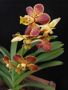 Vanda Wanna 'Galaxy' Vanda Orchids, Growing Orchids, Shiva, Landscapes, Nature, Plants, Beautiful, Garden, Flowers