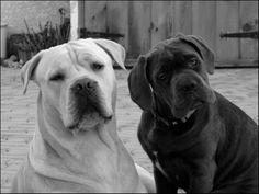 Mâle & femelle cane corso