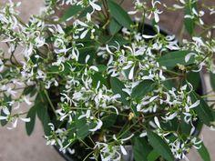 Euphorbia Breathless White x Garden, Plants, Color, Garten, Lawn And Garden, Colour, Gardens, Plant, Gardening