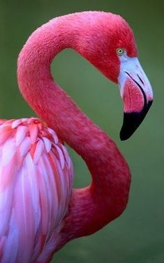 I love flamingos. My sister teases me. She lives in Florida. Doesn't she like her state bird? Now I find out the state bird is the Mockingbird.
