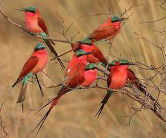 Chobe Carmines Carmine Beeaters on the Chobe River in Botswana.