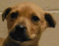 Meet 24948509, a Petfinder adoptable Terrier Dog | Cedartown, GA | Available for adoption 02/17. 7 to 8 weeks old. Weighs 5 pounds. Has received its first in series...