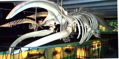 Port Elizabeth- 15m skeleton of the last southern whale found in Algoa Bay in the Eastern Cape of South Africa – wanaabeehere
