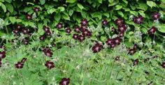 Geranium phaeum 'Mourning Widow' op vasteplant.be Plant of the moment at Chelsea