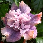 Hidden Valley Hibiscus - Double Flowering Hybrid Hibiscus Plants.  GeorgiasvThunder