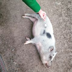 Helping a pig with an itch (a fork is the best tool for this!)