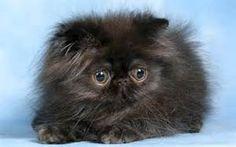 chaton persan - Bing Images