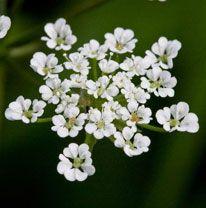 krabilice chlupatá Chaerophyllum hirsutum  kvete: květen–srpen výška:50–150 cm  ve vyšších polohách vlhké občas i zaplavované louky, vlhké příkopy, lužní lesy, břehy toků, rybníků, světlé vlhké lesy, křoviny, paseky, vlhkomilná, snášející jak přistínění, tak plné oslunění