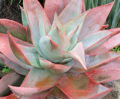 Coral aloe (Aloe striata)