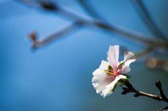 写真 十月桜 10月に咲く桜がある。その姿は慎ましく儚い。