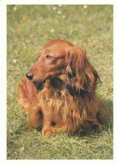 Red longhair dachshund outdoors - postcard