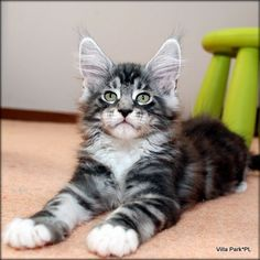 Beautiful Maine Coon. Maine Coon Cattery Villa Park*PL. http://www.mainecoonguide.com/how-to-keep-a-maine-coon-growth-chart/