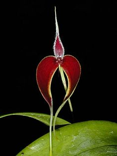 Bulbophyllum masdevalliaceum Most of the orchids in this genus look like alien space ships, but this one I could totally get behind. Easy grower, brilliant color and while  an oddly shaped bloom, I don't think it's gonna sneak out of my office and attack me in the middle of the night.
