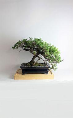 Mature Juniper procumbens nana bonsai tree from the estate of Hirobumi Aso by LiveBonsaiTree on Etsy