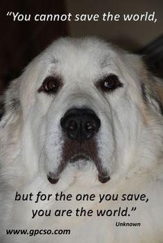 Great Pyrenees Rescue is looking for good foster homes.  Are you available?