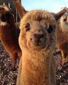 These 15 fluffy alpacas are EVERYTHING you want to see today! - These 15 fluffy alpacas are EVERYTHING you want to see today! Cute Funny Animals, Funny Animal Pictures, Cute Baby Animals, Animals And Pets, Animal Pics, Animals Photos, Llama Pictures, Smiling Animals, Wild Animals