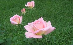 Pink Roses Widescreen Wallpapers 1920x1200px